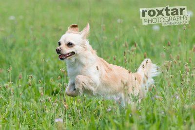 Hunde Shooting - Chewawa © roxtar