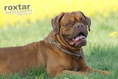 Haustier Shooting - Bordeaux Dogge © roxtar