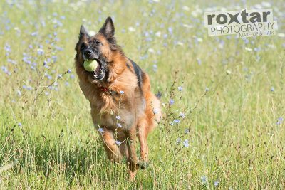 Haustier Shooting - Schäferhund © roxtar